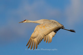 Sandhill Flight