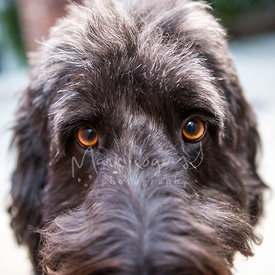 Close up of a shaggy black dog's brown eyes