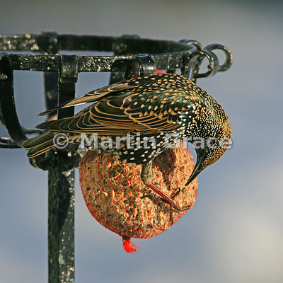 Starling (Sturnus vulgaris) feeding from a fat ball in a Cumbrian garden with the sun shining on its iridescent plumage, Lyth Valley, Cumbria, England