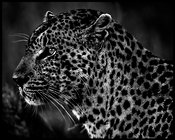 4417-Sleek_profile_of_a_leopard_South_Africa_2008_Laurent_Baheux