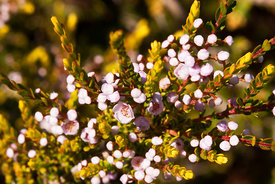 Ribbed Thryptomene