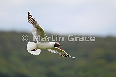 Black-Headed Gull (Larus ridibundus, Chroicocephalus ridibundus) calling in flight, Leighton Moss, Lancashire, England