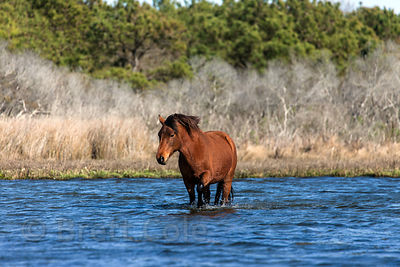 Wild horse (Equus ferus caballus) in Sinepuxent Bay, Assateague Island, Maryland