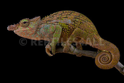 Böhme's Two-horned Chameleon (Kinyongia boehmei) photos