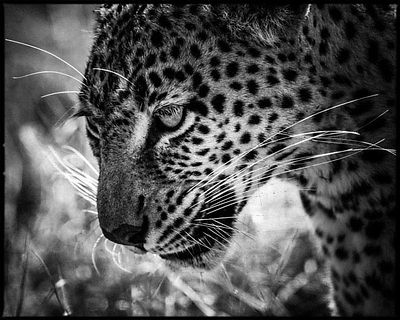 2197-Leopard_scouting_for_prey_Laurent_Baheux