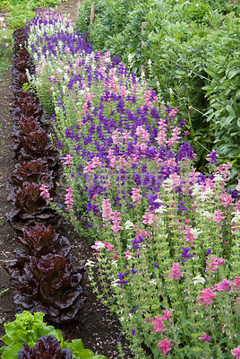 Clary sage planted in a row beside dark leaved lettuces. Clovelly Court, Bideford, Devon, UK
