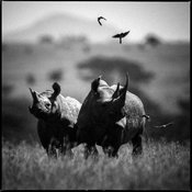44930-Birds_above_two_white_rhinos_Laurent_Baheux