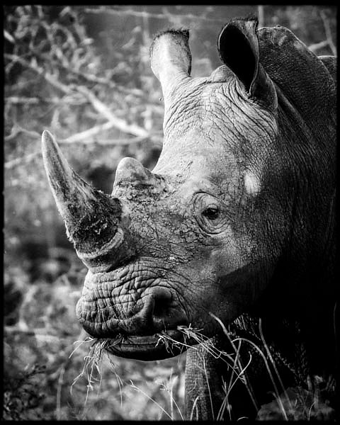 7388-Horn_of_white_rhino_Laurent_Baheux