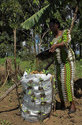 "African woman in brightly coloured clothes watering "" Bag Garden "", designed to retain water and minimise soil erosion, western Kenya Africa"