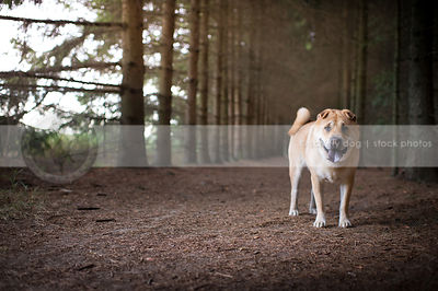 tan chow cross breed dog standing in pine tree forest