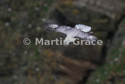 Northern Fulmar (Fulmarus glacialis) in flight against the cliffs of Hermaness National Nature Reserve, Unst, Shetland