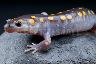 Spotted mole salamander (Ambystoma maculatum) photos