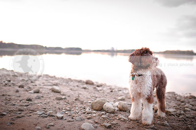 brown and white portuguese water dog posing on beach