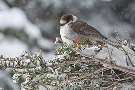 Gray Jay (Perisoreus canadensis) perched on a branch during a snowstorm on Hurricane Ridge, Olympic National Park, Olympic Peninsula, Washington, USA, March, 2009_WA_8126