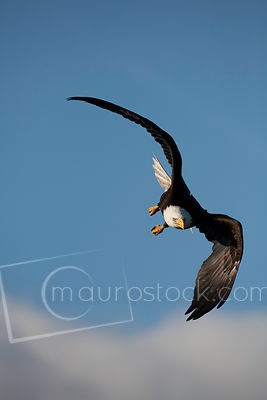 Bald_Eagle_MG_1642-2