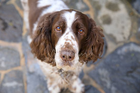 Close-up of Springer Spaniel Looking up