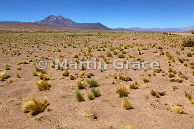 High Andean Altiplano steppe grassland (pajonal) with Coiron Grass (Stipa chrysophylla) and small Lupins (Lupinus sp); Volcan Miniques (5910 metres) behind