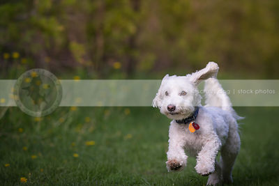 small cute white dog bounding running in mowed park grass