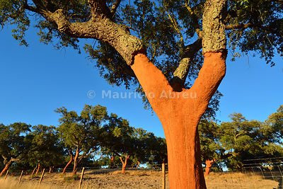 A cork tree with the cork recently cut off. Palmela, Portugal