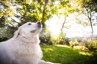 proud large white dog looking skyward lying in yard in summer
