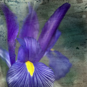Botanical, Purple Iris Flower