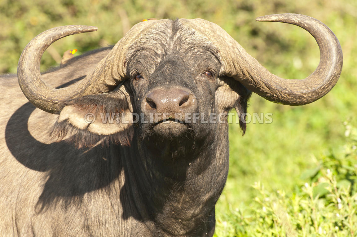cape_buffalo_curl_horn_2