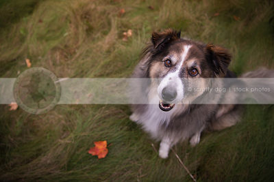 pretty collie cross dog smiling upward from grasses with leaf