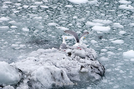 Glaucous sea gull in Glacier Bay National Park.