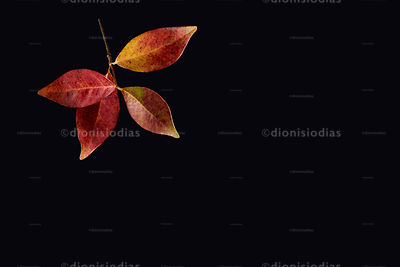 Autumn leaves isolated on black background