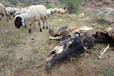 Sheep graze near a decomposing water buffalo, Ajaysar village, Rajasthan, India