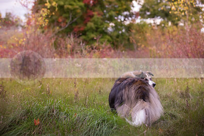 shaggy longhaired dog from behind looking back in meadow