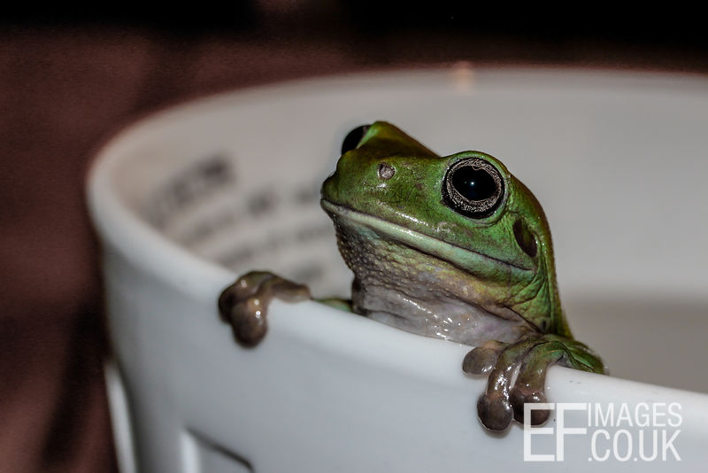 Green Tree Frog Peeking Over The Edge Of A Bowl