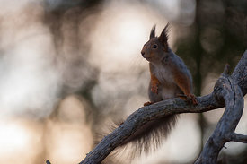 Ekorn / Red squirrel (Sciurus vulgaris)
