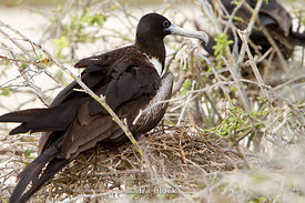 A female magnificent frigatebird attends to her nest on North Seymour Island.