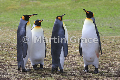 Two pairs of King Penguins (Aptenodytes patagonicus), Volunteer Point, East Falkland, Falkland Islands