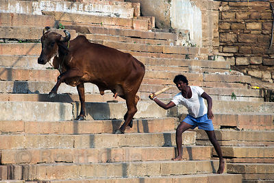 A farmer manages his water buffalo, Kedar Ghat, Varanasi, India