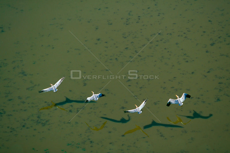 Aerial view of four Eastern white pelicans (Pelecanus onocrotalus) flying over water, Zululand, South Africa
