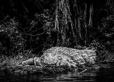 Crocodile on the bank, Kenya 2013 © Laurent Baheux