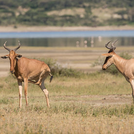 Hartebeest wildlife photos