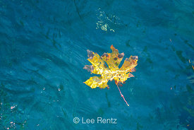 Bigleaf Maple Autumn Leaf Floating in North Fork Skokomish river