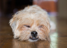 Close-up of sleeping terrier mix dog