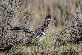 Greater Roadrunner in Lincoln National Forest, New Mexico