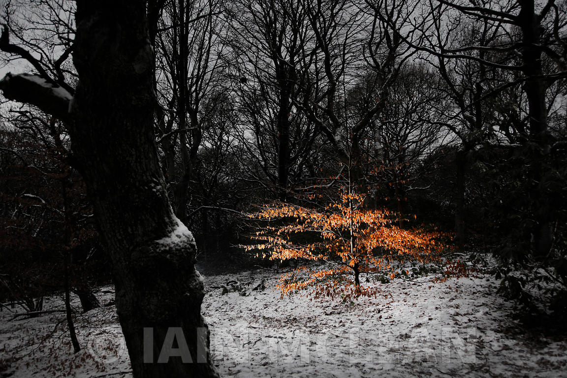 Pollok Park, Glasgow..26.12.10..Picture Copyright:.Iain McLean,.79 Earlspark Avenue,.Glasgow.G43 2HE.07901 604 365.pictures@iainmclean.com.www.iainmclean.com