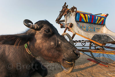 Rickshaw and water buffalo, Varanasi, India.