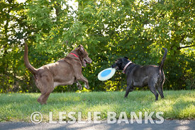 Two Dogs Playing Frisbee