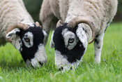 Swaledale sheep grazing in pasture. North Yorkshire, UK.
