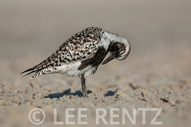 Black-bellied Plover at Tigertail Beach Park