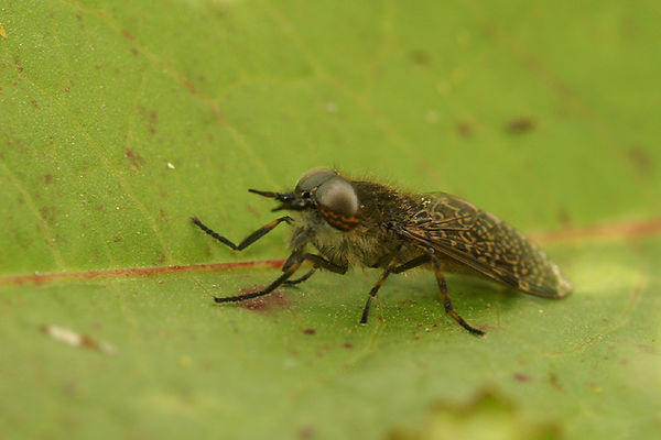 Tabanidae - Horse flies - Dazen photos
