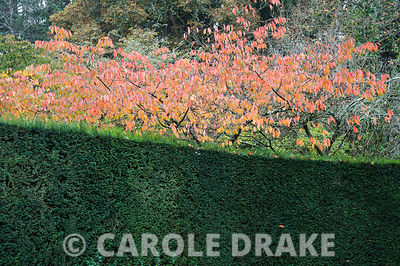 Ornamental cherries turning colour in the garden at RHS Rosemoor framed by a yew hedge.