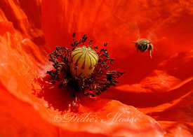 Abeille et coquelicot Ennery Val d'Oise 06/10